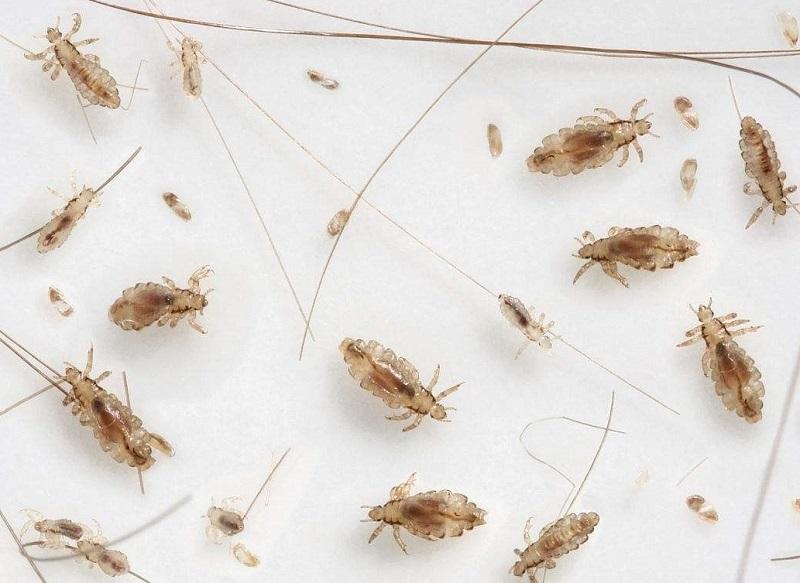 第二步:彻底清除体内外虫子 推荐药物:布尔 布多拉(天猫有售) 突出特点:本品安全性大,每月注射一次,可以全面清除体内外寄生虫。。 应用范围:可以彻底驱杀体表所有寄生虫(虱子、跳蚤、蜱虫、螨虫),同时包括其它的体内寄生虫,如胃肠道线虫(蛔虫)、肺线虫、眼线虫等等。 用法用量:1、皮下注射: 一次量, 每1kg体重0.